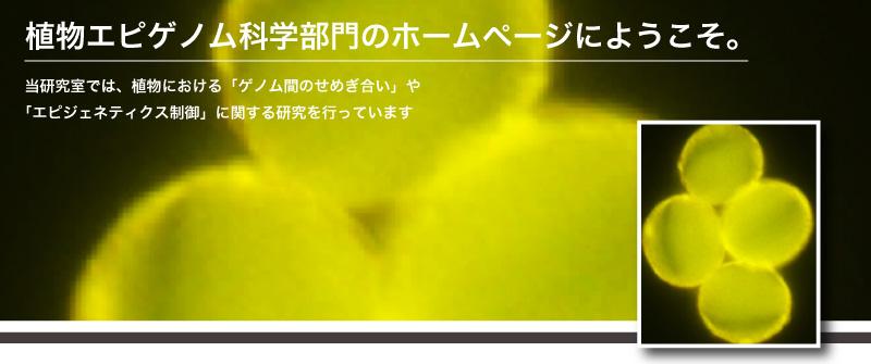 ♂ WT|木下研では、植物における「ゲノム間のせめぎ合い」や「エビジェネティクス制御」に関する研究を行っています