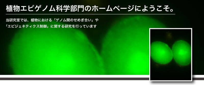 ♂ met1|木下研では、植物における「ゲノム間のせめぎ合い」や「エビジェネティクス制御」に関する研究を行っています